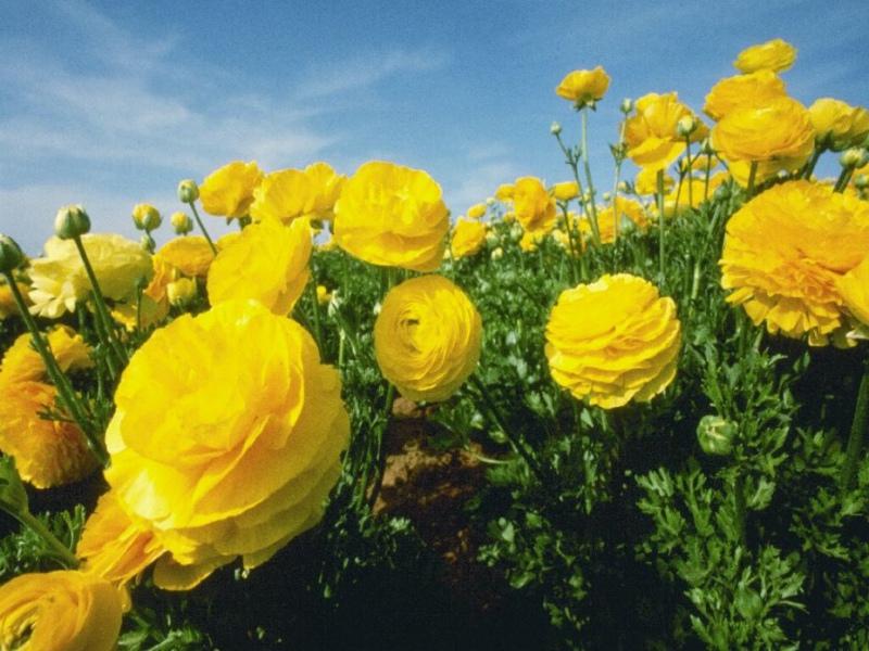 Цветок лютик картинка 6