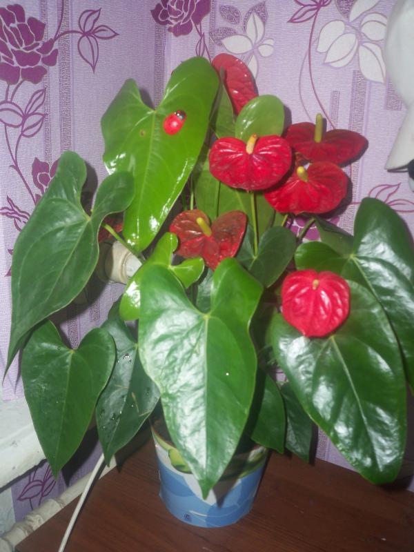 Атриум цветок мужское счастье как ухаживать болезни